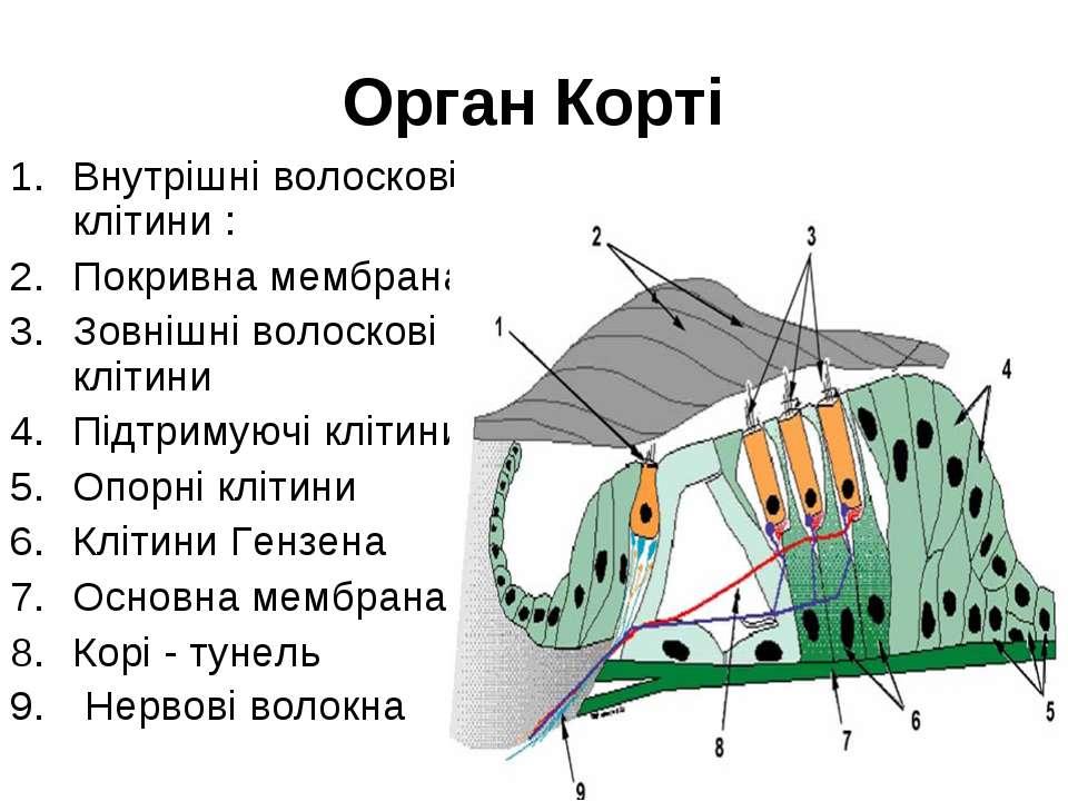 Орган Корті Внутрішні волоскові клітини : Покривна мембрана; Зовнішні волоско...