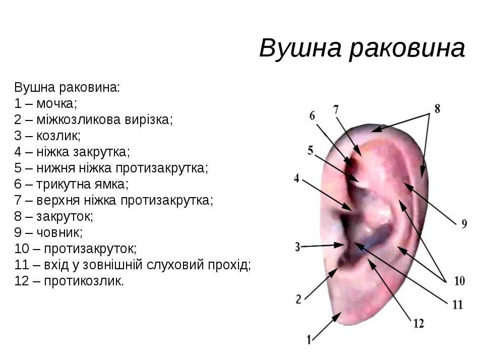 Вушна раковина Вушна раковина: 1 – мочка; 2 – міжкозликова вирізка; 3 – козли...