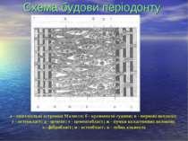 Схема будови періодонту а - епітеліальні островки Маляссе; б - кровоносні суд...