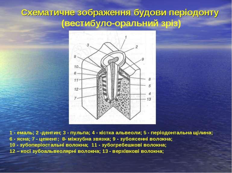 Схематичне зображення будови періодонту (вестибуло-оральний зріз) 1 - емаль; ...