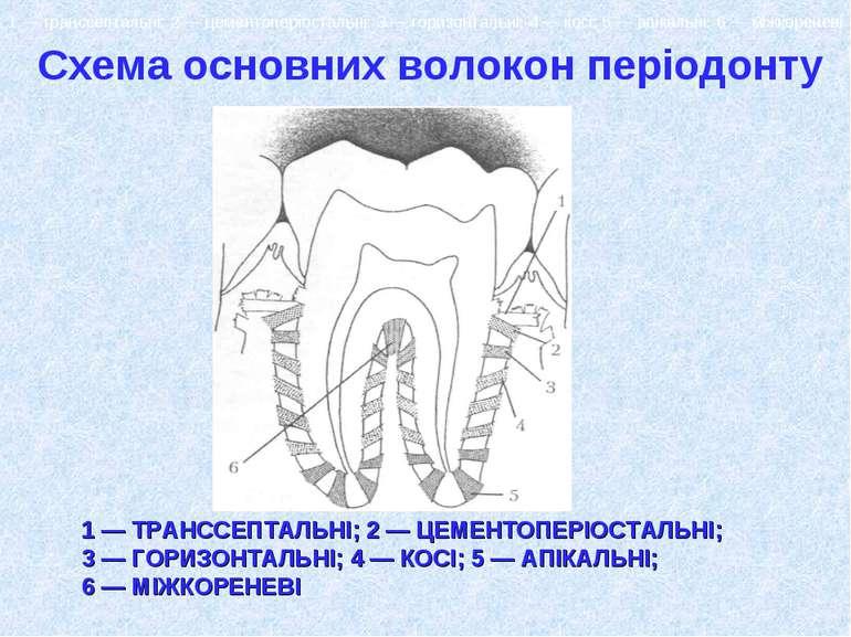 Схема основних волокон періодонту : 1 — транссептальні; 2 — цементоперіосталь...