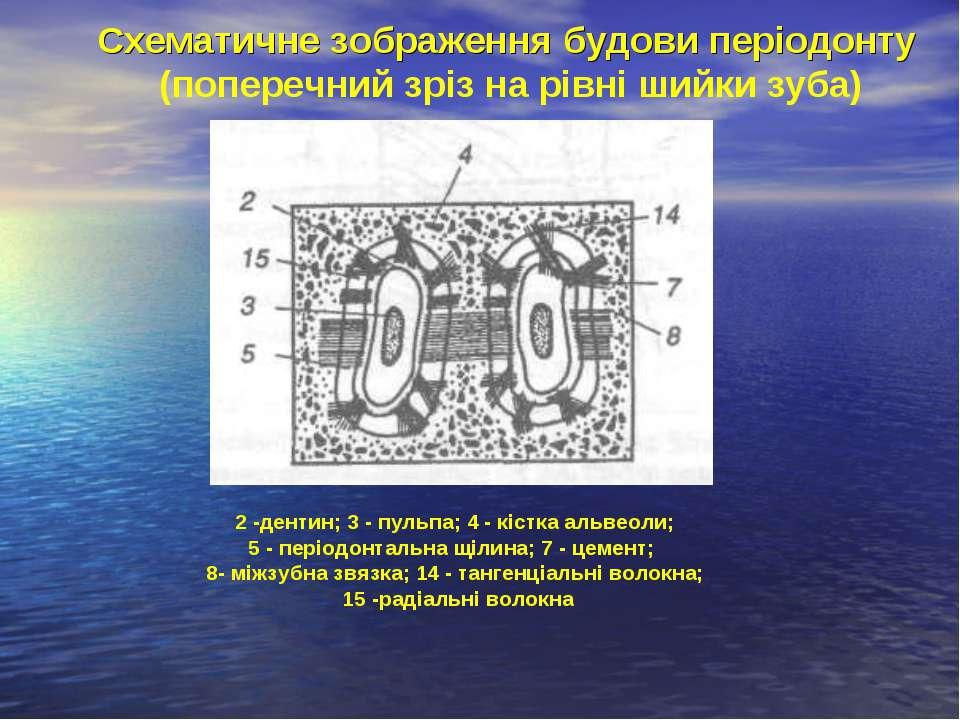 Схематичне зображення будови періодонту (поперечний зріз на рівні шийки зуба)...