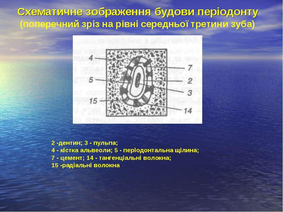 Схематичне зображення будови періодонту (поперечний зріз на рівні середньої т...