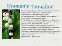 Конвалія звичайна (Convallaria majalis L.) – належить до родини лілійних – Li...