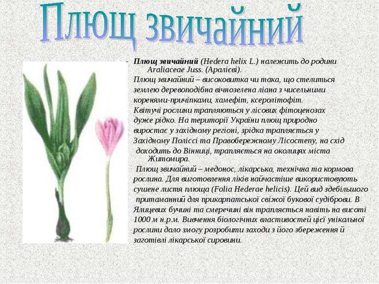 Плющ звичайний (Hedera helix L.) належить до родини Araliaceae Juss. (Аралієв...