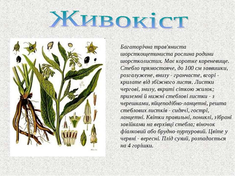 Багаторiчна трав'яниста шорсткощетиниста рослина родини шорстколистих. Має ко...