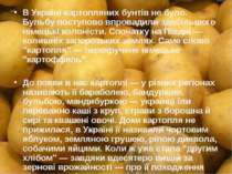 В Україні картопляних бунтів не було. Бульбу поступово впровадили здебільшого...