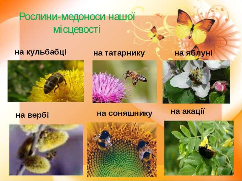 Рослини-медоноси нашої місцевості на кульбабці на татарнику на яблуні на верб...