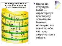 Вторинна структура білків— характеризує просторову організацію білкової моле...