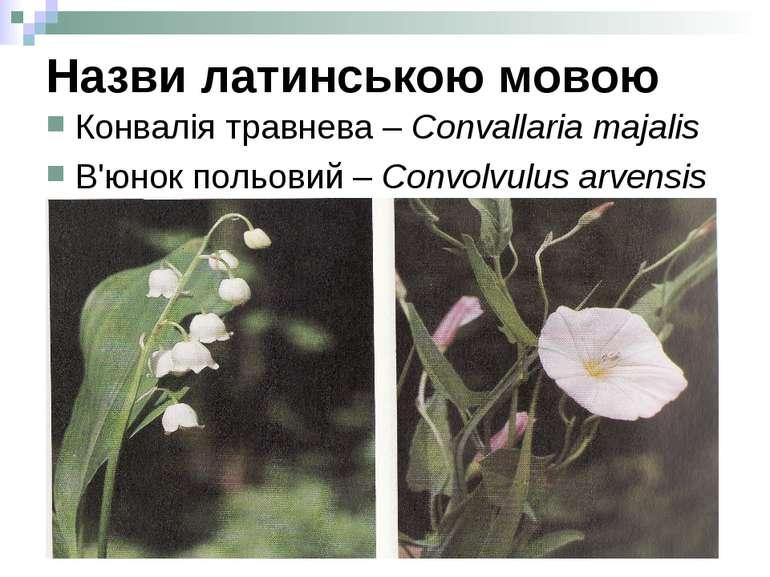 Назви латинською мовою Конвалія травнева – Convallaria majalis В'юнок польови...