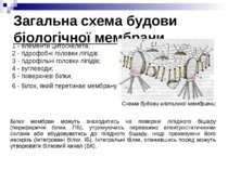 Загальна схема будови біологічної мембрани 1 - елементи цитоскелета; 2 - гідр...