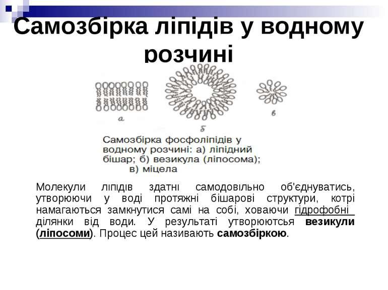 Самозбірка ліпідів у водному розчині Молекули ліпідів здатні самодовільно об'...