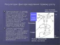 Регуляторні фактори виділення гормону росту Обидва прояви відсутні у здорових...