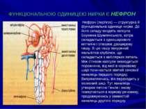 ФУНКЦІОНАЛЬНОЮ ОДИНИЦЕЮ НИРКИ Є НЕФРОН Нефрон (nephros) — структурна й функці...