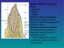 АНАТОМІЧНА БУДОВА ЗУБА - Коронка - Шийка - Корінь Клінічна висота коронки – в...