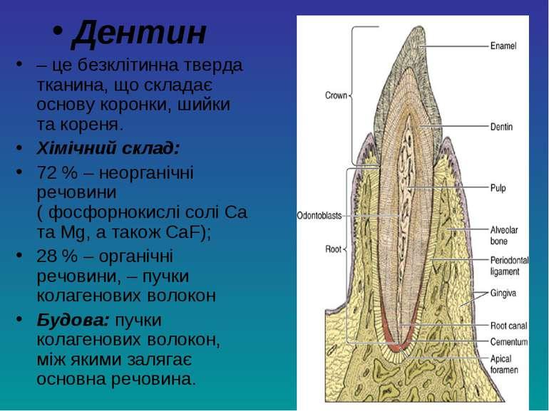 Дентин – це безклітинна тверда тканина, що складає основу коронки, шийки та к...