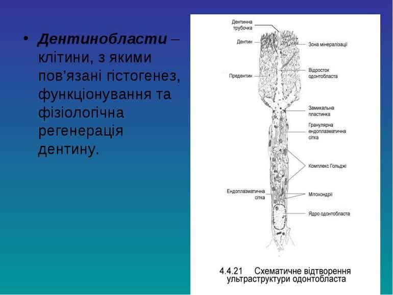 Дентинобласти – клітини, з якими пов'язані гістогенез, функціонування та фізі...