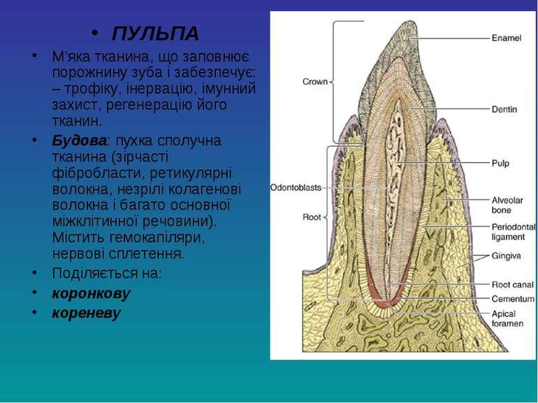 ПУЛЬПА М'яка тканина, що заповнює порожнину зуба і забезпечує: – трофіку, іне...