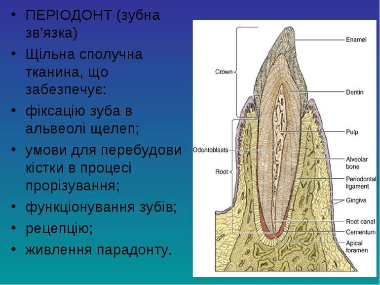 ПЕРІОДОНТ (зубна зв'язка) Щільна сполучна тканина, що забезпечує: фіксацію зу...