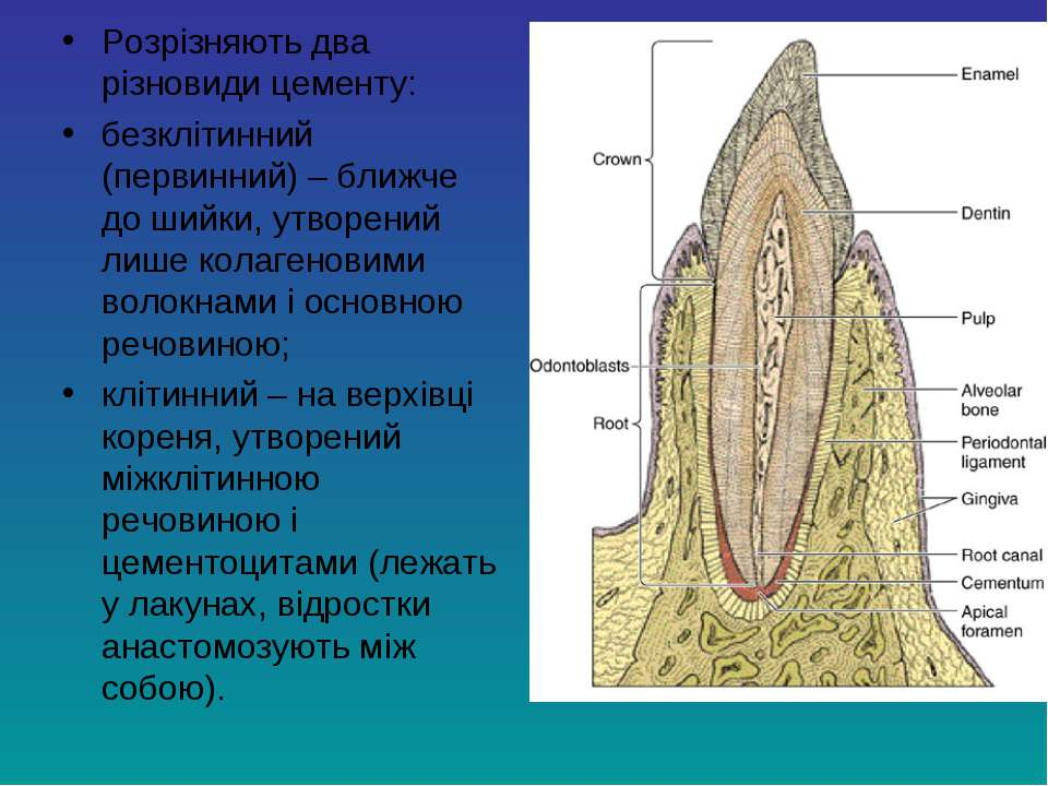 Розрізняють два різновиди цементу: безклітинний (первинний) – ближче до шийки...