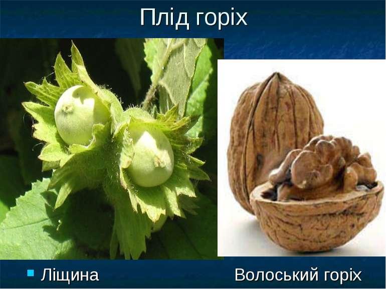 Плід горіх Ліщина Волоський горіх
