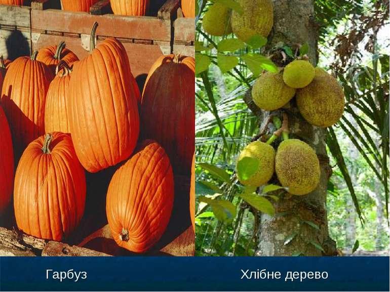 Гарбуз Хлібне дерево Гарбуз Хлібне дерево