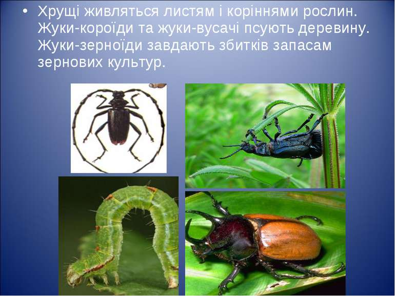 Хрущі живляться листям і коріннями рослин. Жуки-короїди та жуки-вусачі псують...