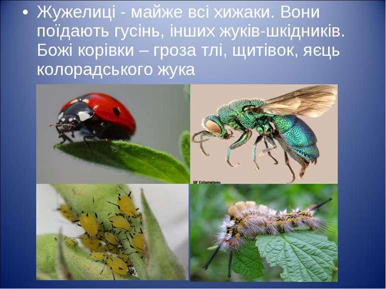 Жужелиці - майже всі хижаки. Вони поїдають гусінь, інших жуків-шкідників. Бож...