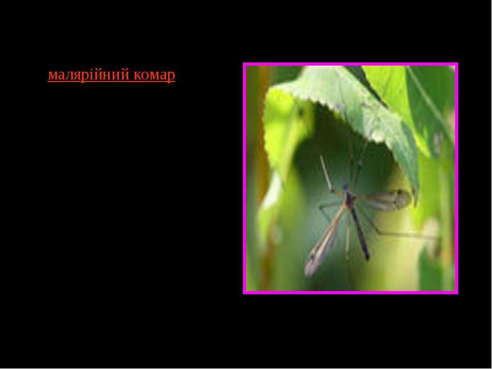 Класичний приклад— малярійний комар, що служить вектором для хвороби малярії...