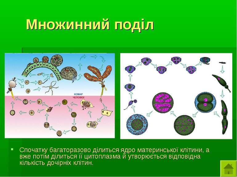 Множинний поділ Спочатку багаторазово ділиться ядро материнської клітини, а в...