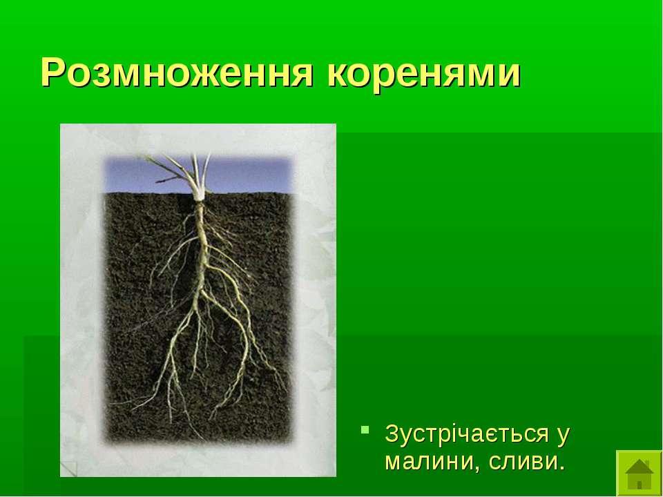Розмноження коренями Зустрічається у малини, сливи.