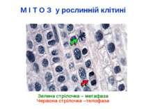 М І Т О З у рослинній клітині Зелена стрілочка – метафаза Червона стрілочка –...