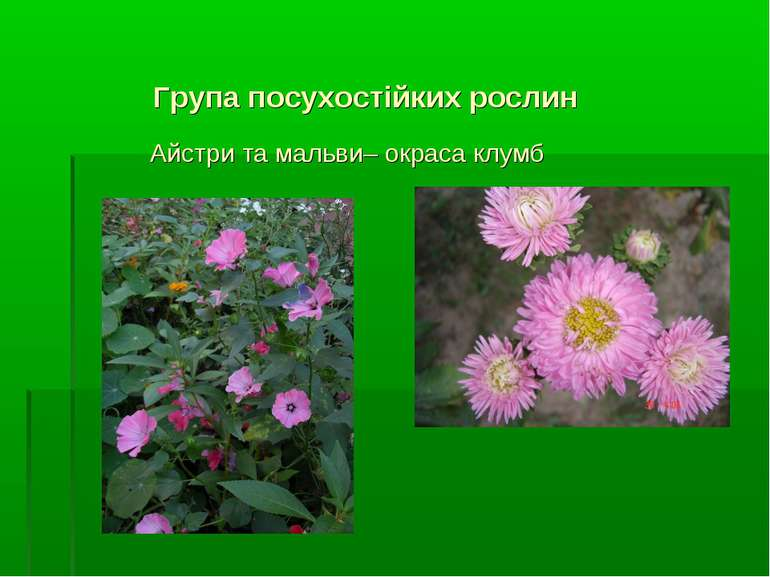 Група посухостійких рослин Айстри та мальви– окраса клумб