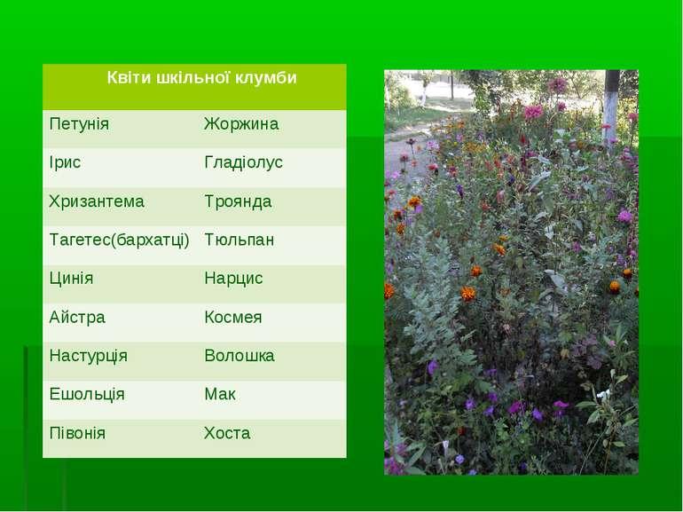 Квіти шкільної клумби Петунія Жоржина Ірис Гладіолус Хризантема Троянда Тагет...