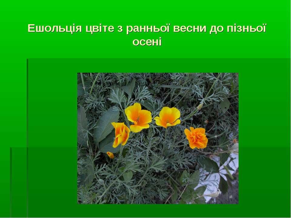 Ешольція цвіте з ранньої весни до пізньої осені