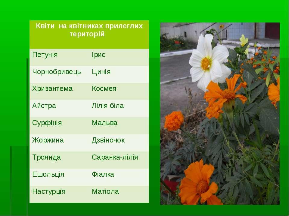 Квіти на квітниках прилеглих територій Петунія Ірис Чорнобривець Цинія Хризан...