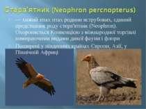 — хижий птах птах родини яструбових, єдиний представник роду стерв'ятник (Neo...