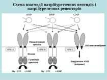 Схема взаємодії натрійуретичних пептидів і натрійуретичних рецепторів Клітинн...