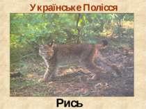 Українське Полісся Рись