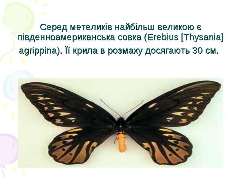 Серед метеликів найбільш великою є південноамериканська совка (Erebius [Thysa...