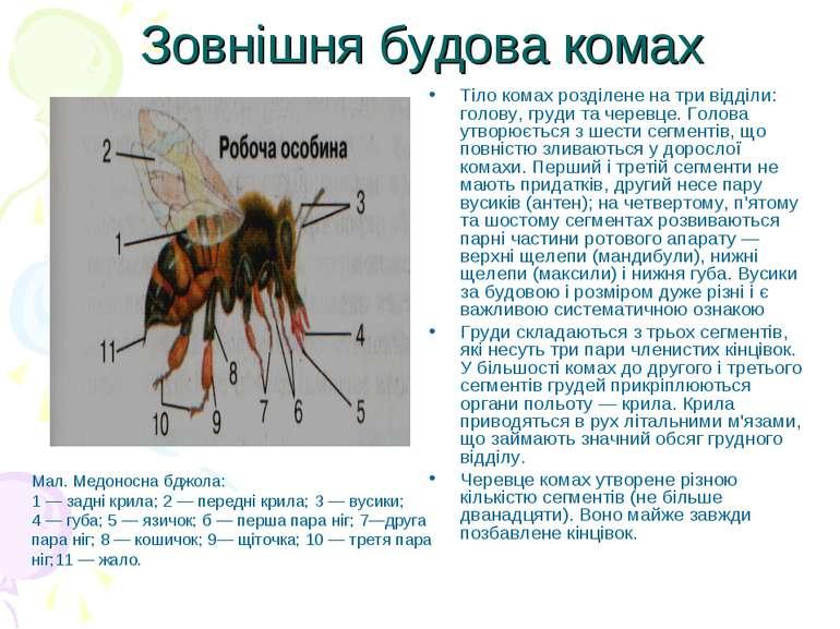 Зовнішня будова комах Тіло комах розділене на три відділи: голову, груди та ч...