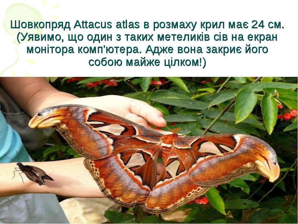 Шовкопряд Attacus atlas в розмаху крил має 24 см. (Уявимо, що один з таких ме...