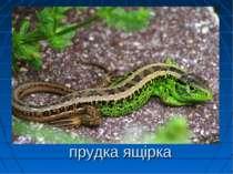 прудка ящірка