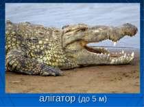 алігатор (до 5 м)