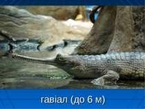 гавіал (до 6 м)