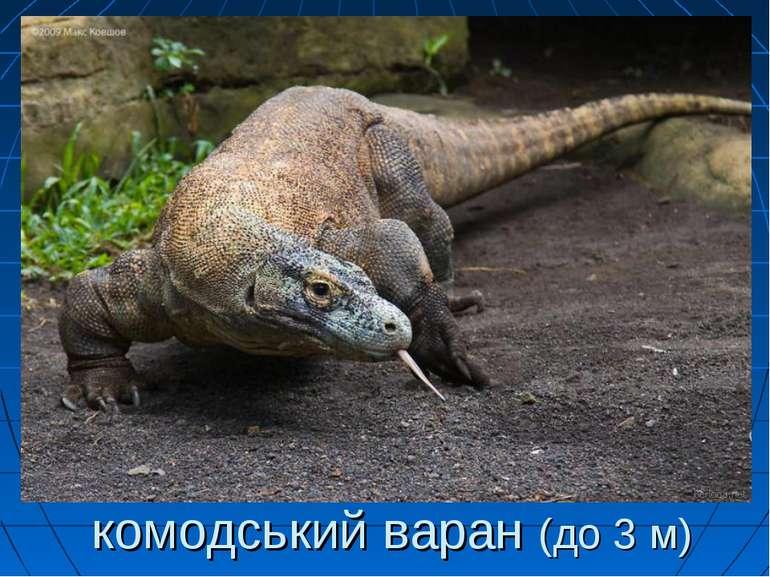 комодський варан (до 3 м)