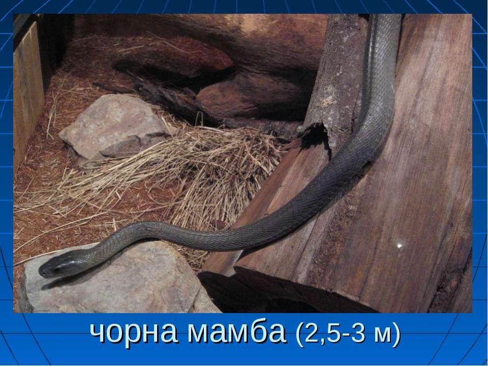 чорна мамба (2,5-3 м)