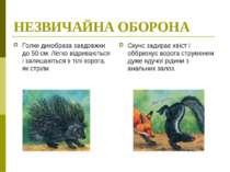 НЕЗВИЧАЙНА ОБОРОНА Голки дикобраза завдовжки до 50 см. Легко відриваються і з...
