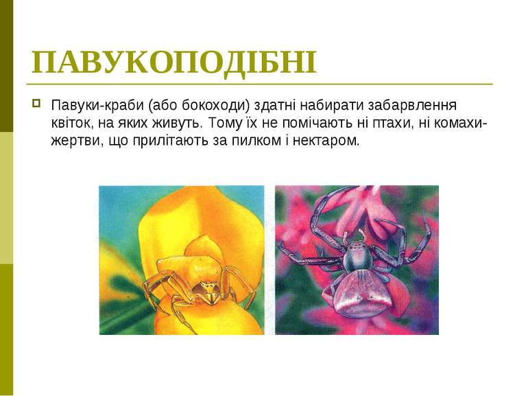 ПАВУКОПОДІБНІ Павуки-краби (або бокоходи) здатні набирати забарвлення квіток,...