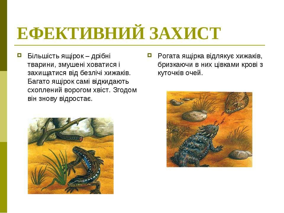 ЕФЕКТИВНИЙ ЗАХИСТ Більшість ящірок – дрібні тварини, змушені ховатися і захищ...